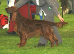 Seter Irlandzki - Irish Setter - Kirkavagh DATATA AT MAYFRED